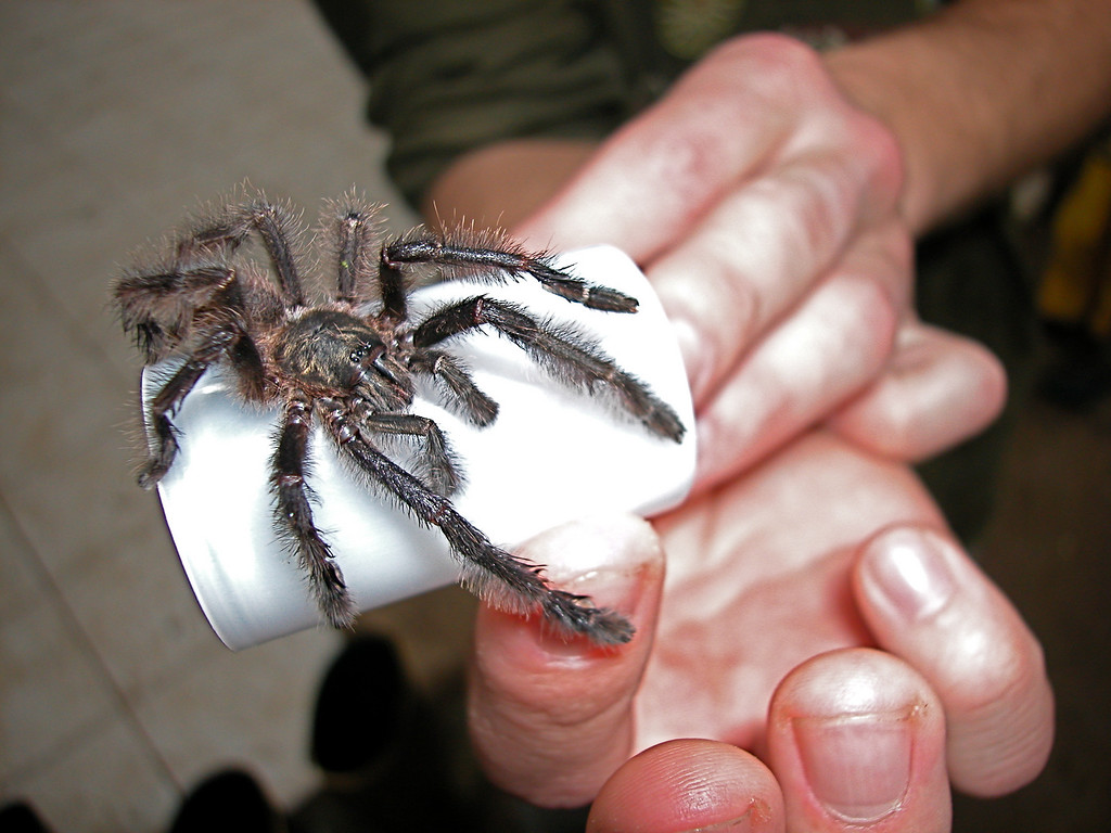 A tarantula found by my students on trailside vegetation in Alberto Manuel Brenes Biological Reserve, Costa Rica.