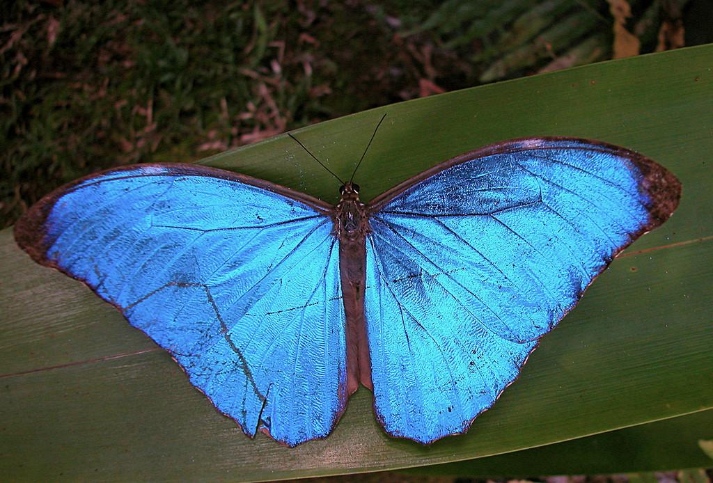 Blue morpho butterfly (Morpho amathonte), Campanario, Osa Peninsula, Costa Rica