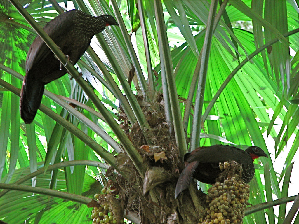 Pair of Crested Guan (Penelope purpurascens), Corcovado National Park, Costa Rica.  Spanish name is Pava Cojolita.