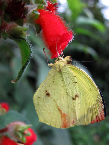 Pierid butterfly (genus is Aphrissa) on roadside flowers near Alberto Manuel Brenes Biological Reserve, Costa Rica.