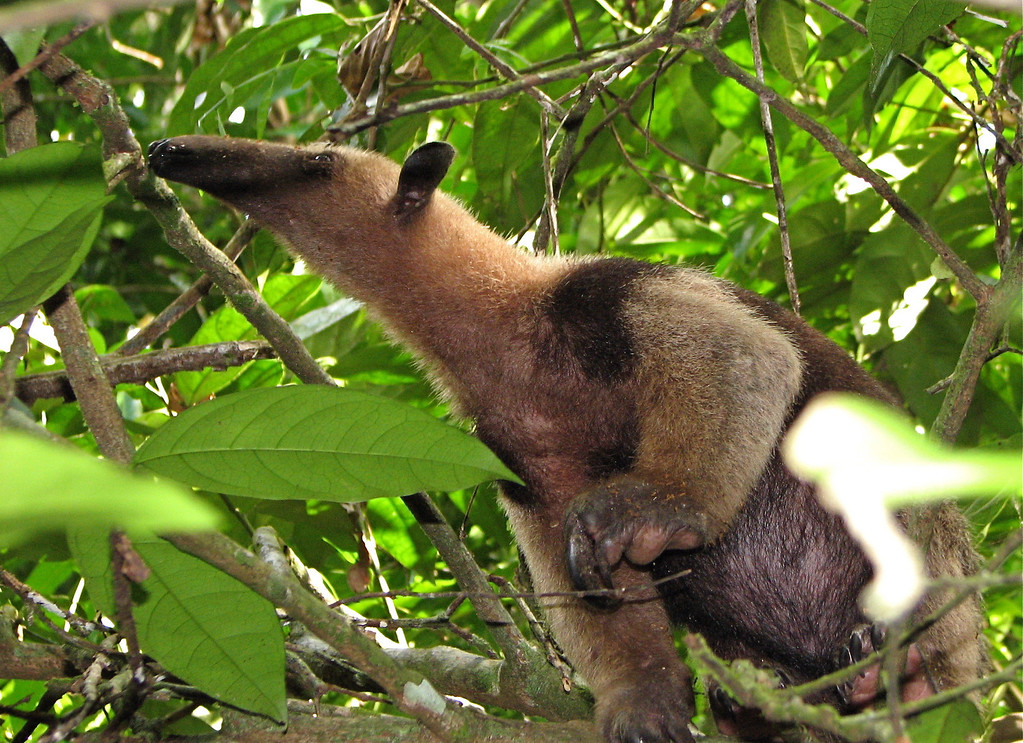 Collared anteater (Tamandua), Corcovado National Park, Osa Peninsula, Costa Rica.