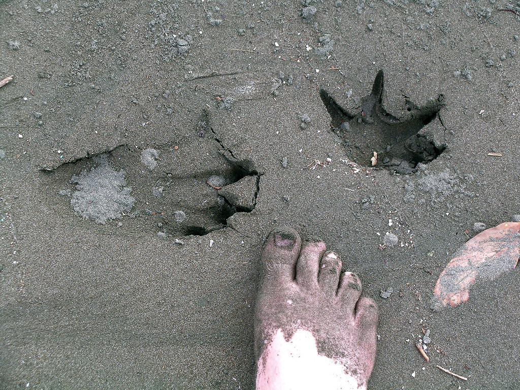 Whereupon I decided not to cross the Rio LLorona at high tide, Corcovado Naitonal Park, Costa Rica.  These are tracks of a relatively small cocodile (Crocodylus acutus) perhaps about 2.5m long. Spanish name is Cocodrilo.