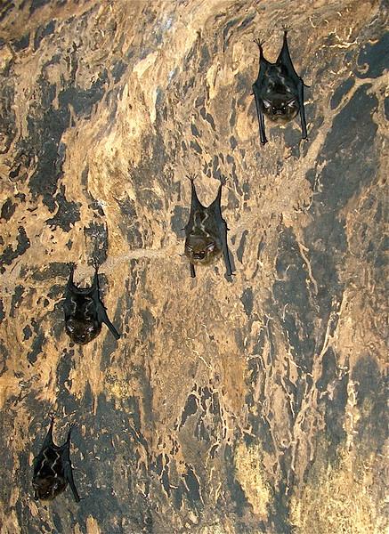 Saccopteryx (probably bilneata) bats in a hollow tree at Campanario, Osa Peninsula, Costa Rica