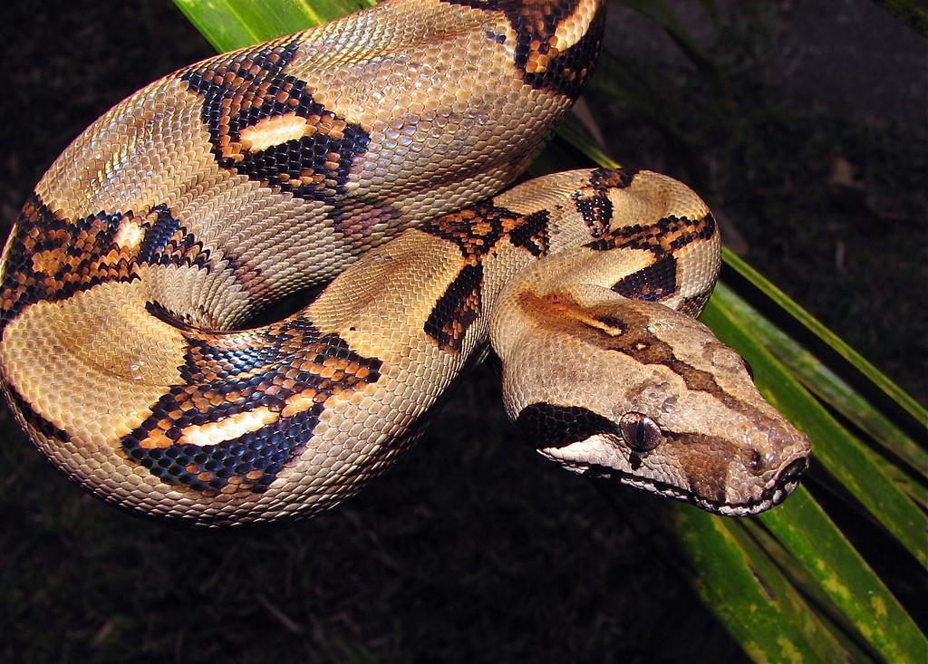 Boa constrictor, Campanario, Osa Peninsula, Costa Rica
