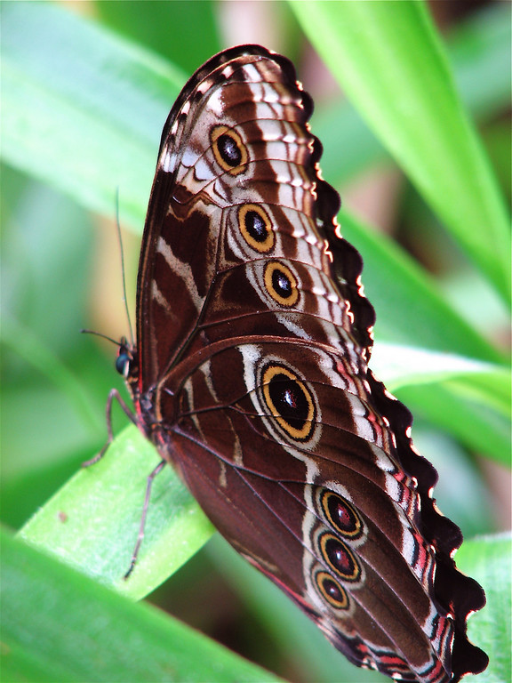 Ventral view of a blue morpho butterfly (Morpho peleides) perched on vegetation along the road leading to Alberto Manuel Brenes Biological Reserve, Costa Rica.