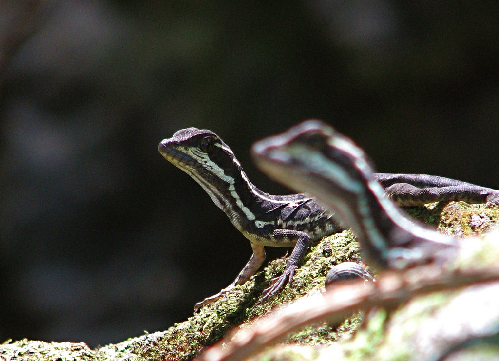 Juvenile common basilisk lizards (Basiliscus basiliscus) on the shore of a small stream, Campanario, Osa Peninsula, Costa Rica