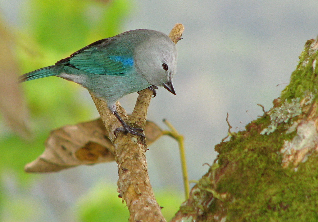 Blue-grey tanager (Thraupis episcopus), Costa Rica