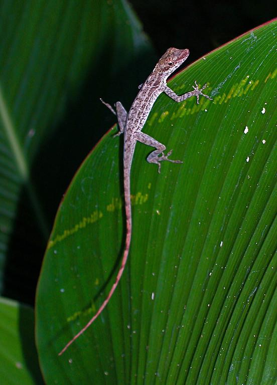 Anole lizard (Norops limifrons), Campanario, Osa Peninsula, Costa Rica. Spanish name is Lagartija anolis.