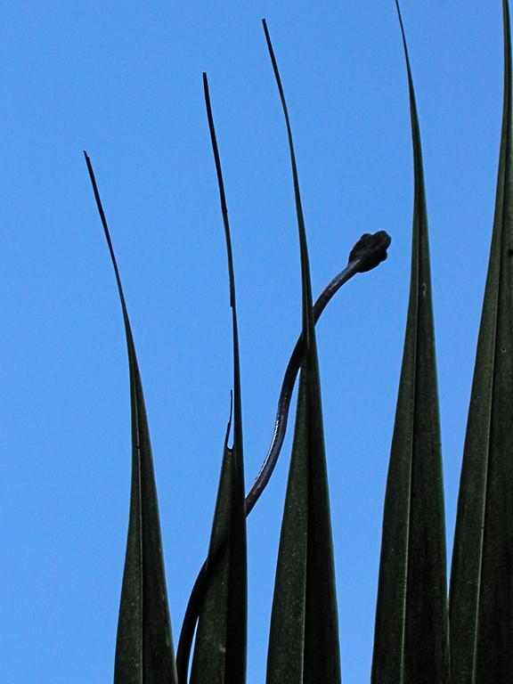 Chunk-headed snake (Imantodes cenchoa or Imantodes gemmistratus), Campanario, Osa Pensinsula, Costa Rica. Also called blunthead snakes. Spanish names are Culebra bejuquillo cabezona, dormilona de bandas, dormilona común.