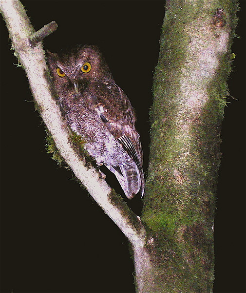 Vermiculated Screech-Owl (Megascops (Otus) vermiculatus).  We frequently see this species perched at about 2 meters height on roadside vegetation at night near the biological station at Alberto Manuel Brenes Biological Reserve.  It is calm and allows close approach.  Spanish name is Autillo Vermiculado. One of my students took this picture.