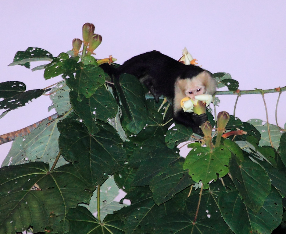 White Faced Capuchin (Cebus capucinus) feeding from a balsa flower, Campanario, Costa Rica