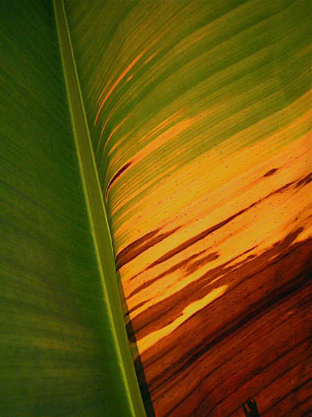 banana leaf, Osa Peninsula, Costa Rica
