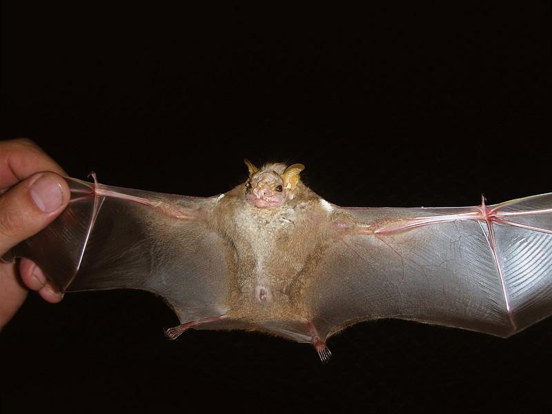 Wrinkle faced bat (Centurio senex) caught in a mist net at Campanario, Osa Peninsula, Costa Rica.