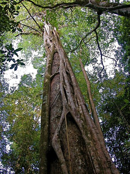 Strangler fig, Campanario, Osa Peninsula, Costa Rica