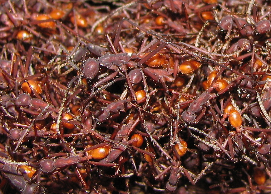 Bivouac of the common army ant (Eciton sp.), Costa Rica.