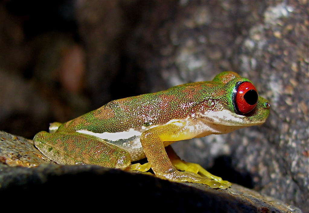Small red eyed tree frog (Duellmanohyla rufioculis).  One year we found a number of these on rocks in a stream at Alberto Manuel Brenes Biological Reserve, Costa Rica.  Of the 16 years I have visited this site in late December, this was the only time we've seen this species.  Spanish name is rana.