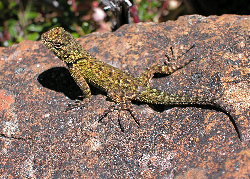 Green Spiny Lizard (Sceloporus malachiticus) near the top of Cerro de al Meurte, Costa Rica.