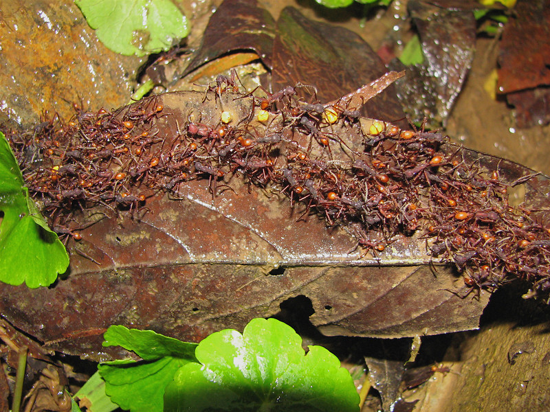 Army ants (Eciton sp.) on the march.  Alberto Manuel Brenes Biological Reserve, Costa Rica.
