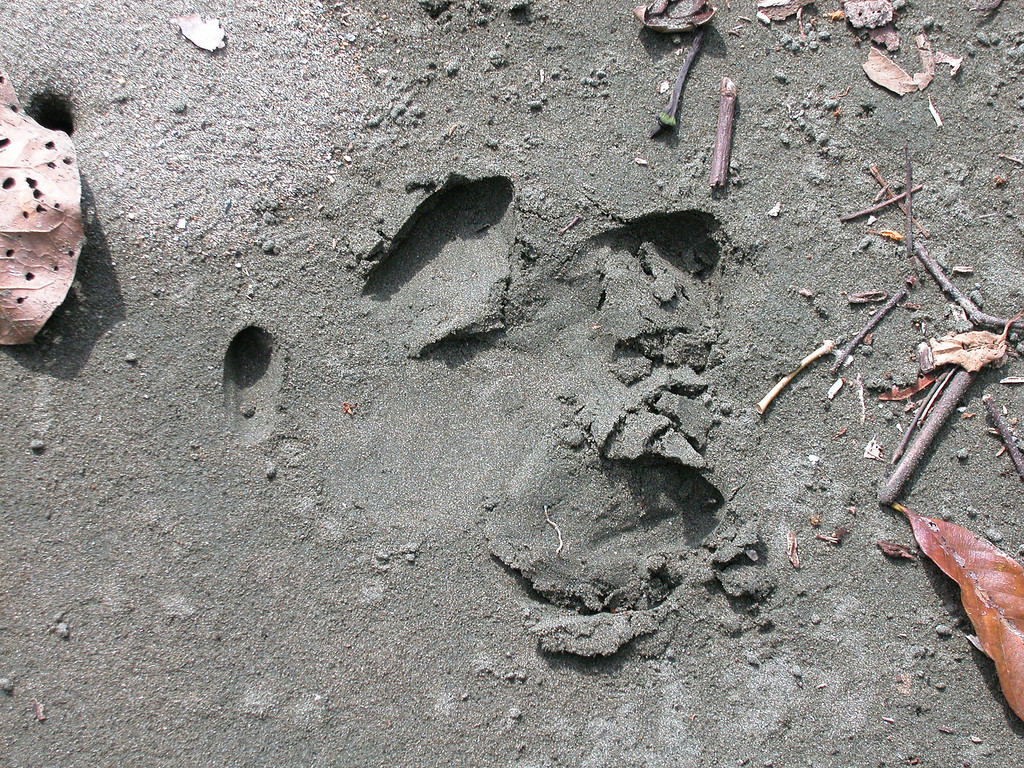 Tapir track on the beach at Corcovado National Park, Costa Rica