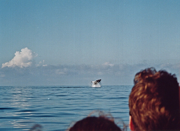 Humpback whale (Megaptera novaeangliae) breaching off the shore of the Osa Peninsula, Costa Rica, in the eastern Pacific