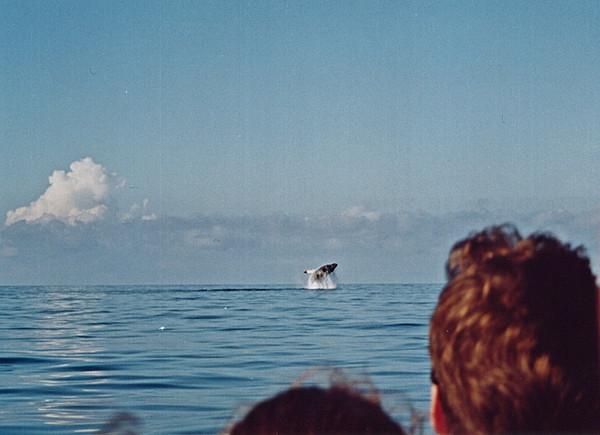 Humpback whale (Megaptera novaeangliae) breaching off the shore of the Osa Peninsula, Costa Rica, in the eastern Pacific