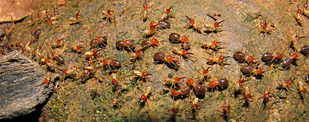 Termites on the move in the forest at Campanario, Osa Peninsula, Costa Rica