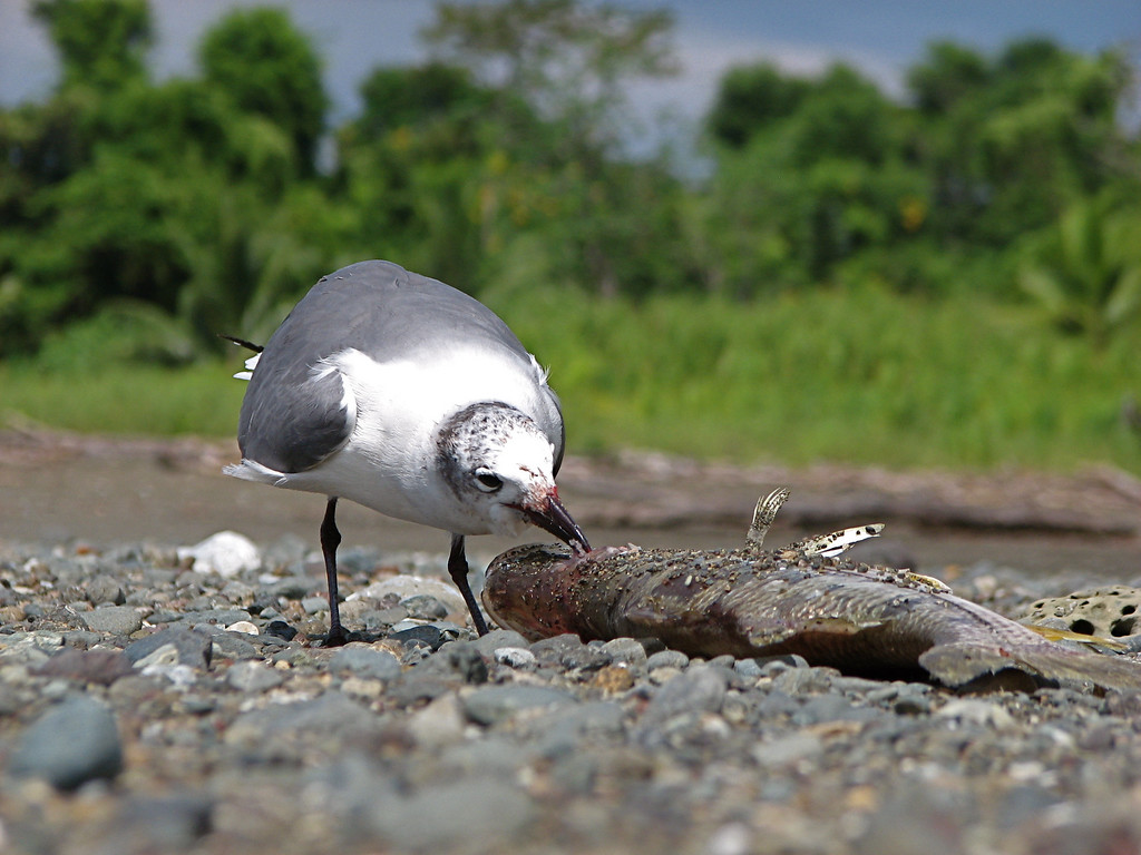 Gull picking the eyeball out of a dead snook at the mouth of the Rio Sirena, Corcovado National Park, Costa Rica