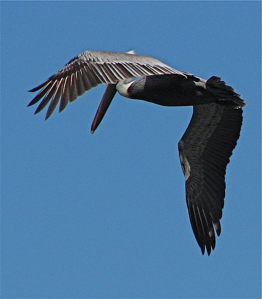 Brown pelican (Pelecanus occidentalis) preparing to dive.  Osa Peninsula, Costa Rica.