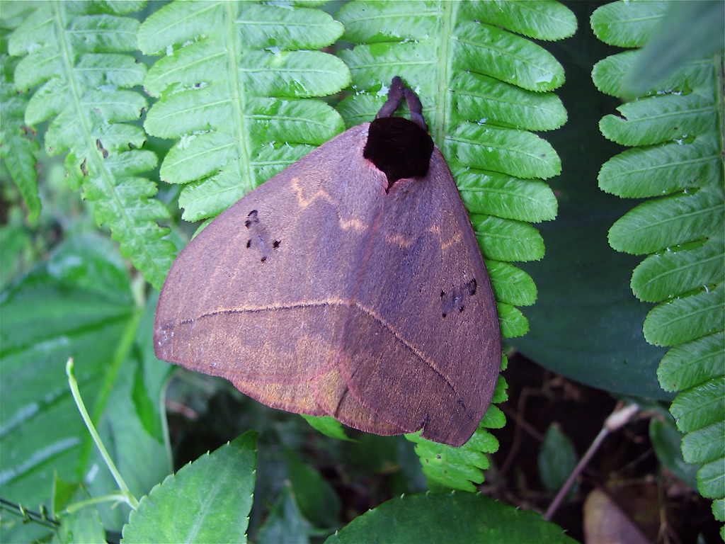 Automeris banus, a common saturniid moth with gorgeous eye spots on the hindwings that are exposed when the moth is disturbed (see next image).  It came to a black light at night at the Alberto Manuel Brenes Biological Reserve, near San Ramon, Costa Rica.