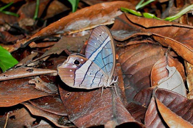 Pierella incanescens, a satyrid butterfly on the forest floor, Corcovado National Park, Costa Rica.  This species has a handsome red spot on the dorsal hindwing.