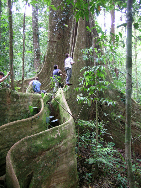 Penn State biology students exploring a large tree, Campanario, Costa Rica