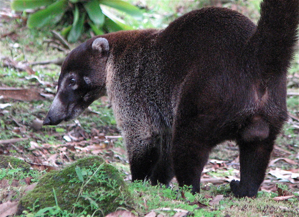 Coati (Nasua narica) adult male.  Arenal Volcano, Costa Rica. Spanish name is Pizote (or pizote solo in reference to single adult males as opposed to groups of females and young).