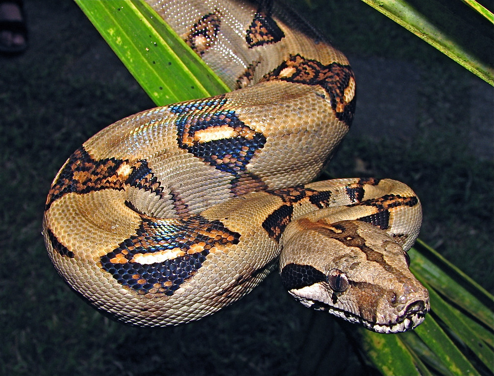 Boa constrictor, Campanairo, Osa Peninsula, Costa Rica. Spanish name is bécquer.