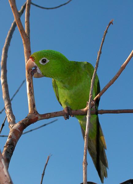 Red-lored Parrot (Amazona autumnalis), immature.  Osa Peninsula, Costa Rica.
