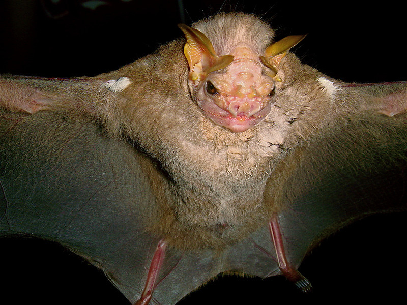 Wrinkle-faced Bat (Centurio senex) caught in a mist net at Campanario, Osa Peninsula, Costa Rica. This bat was of course released unharmed