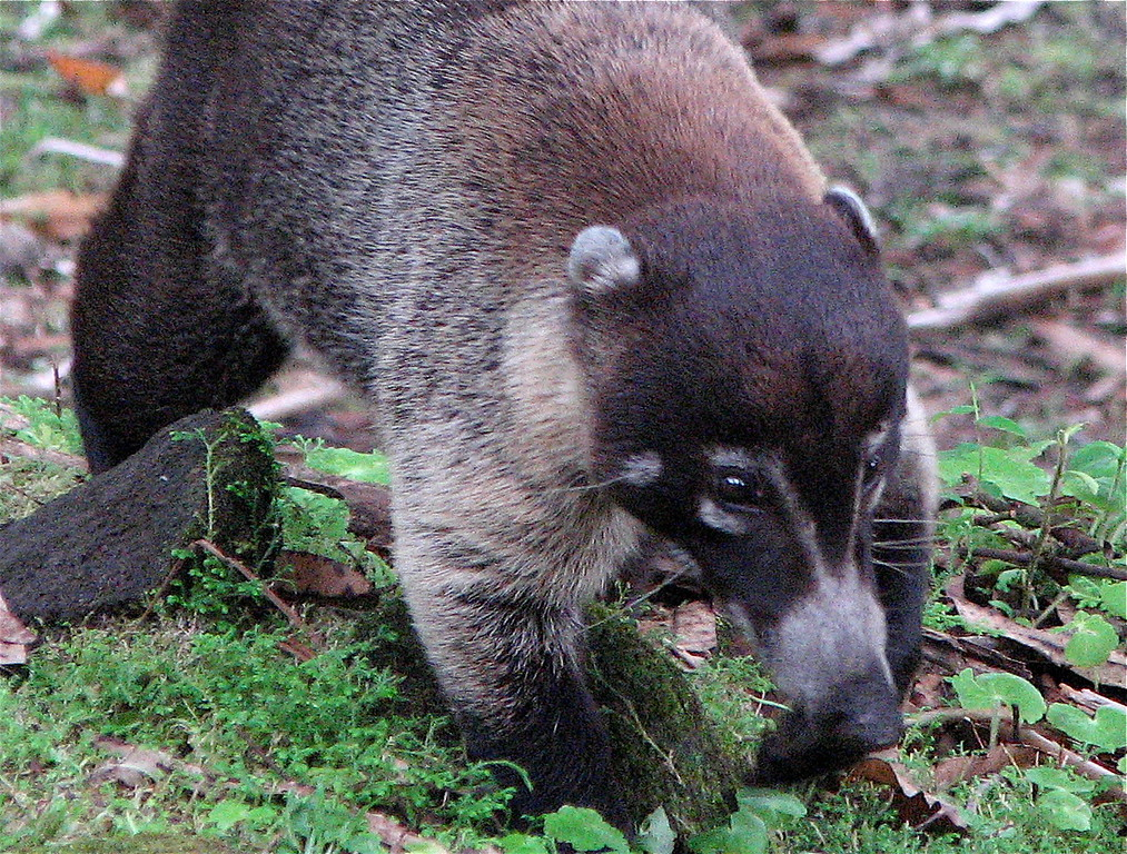 Coati (Nasua narica) adult male. Arenal Volcano, Costa Rica. Spanish name is Pizote (or pizote solo in reference to single adult males as opposed to groups of females and young)