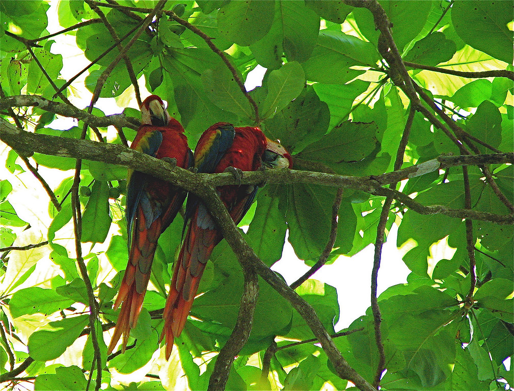 Scarlet macaws (Ara macao). Corcovado National Park, Osa Peninsula, Costa Rica. Spanish name is lapa.
