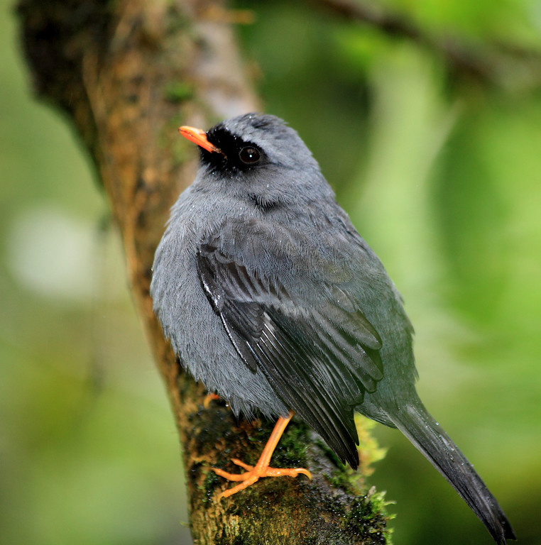 Black faced solitaire, Alberto Manuel Brenes Biological Reserve, Costa Rica