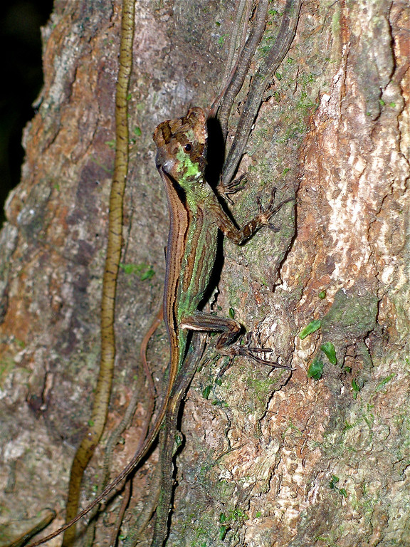 Anole lizard (Norops capito) on a tree trunk in Corcovado National Park, Costa Rica. Spanish name is Lagartija anolis.