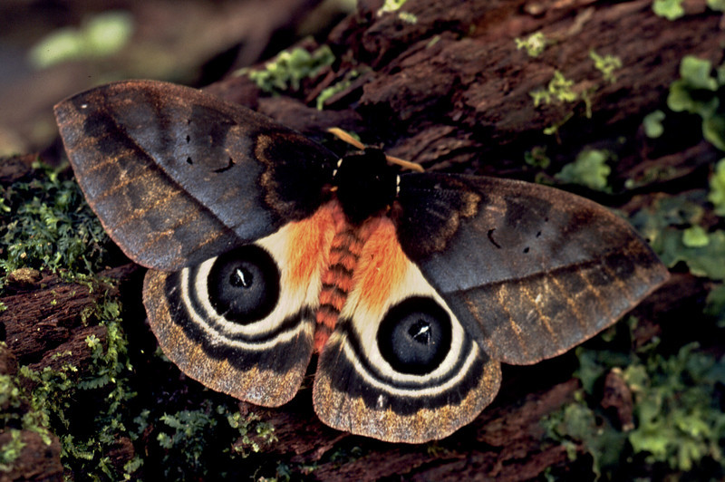 Automeris sp. moth, Alberto Manuel Brenes Biological Reserve, Costa Rica.