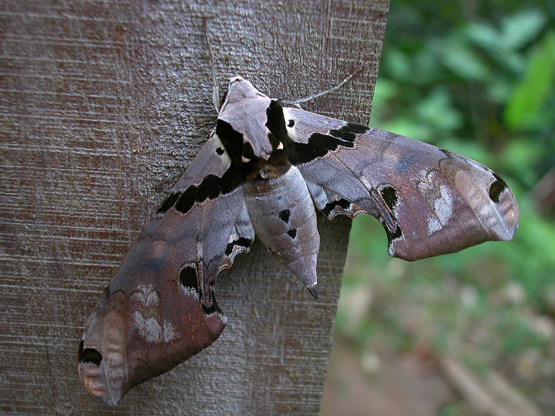 Adhemarius gannascus.  A large sphinx moth (Sphingidae).  It came to a black light at night at the Alberto Manuel Brenes Biological Reserve, near San Ramon, Costa Rica.
