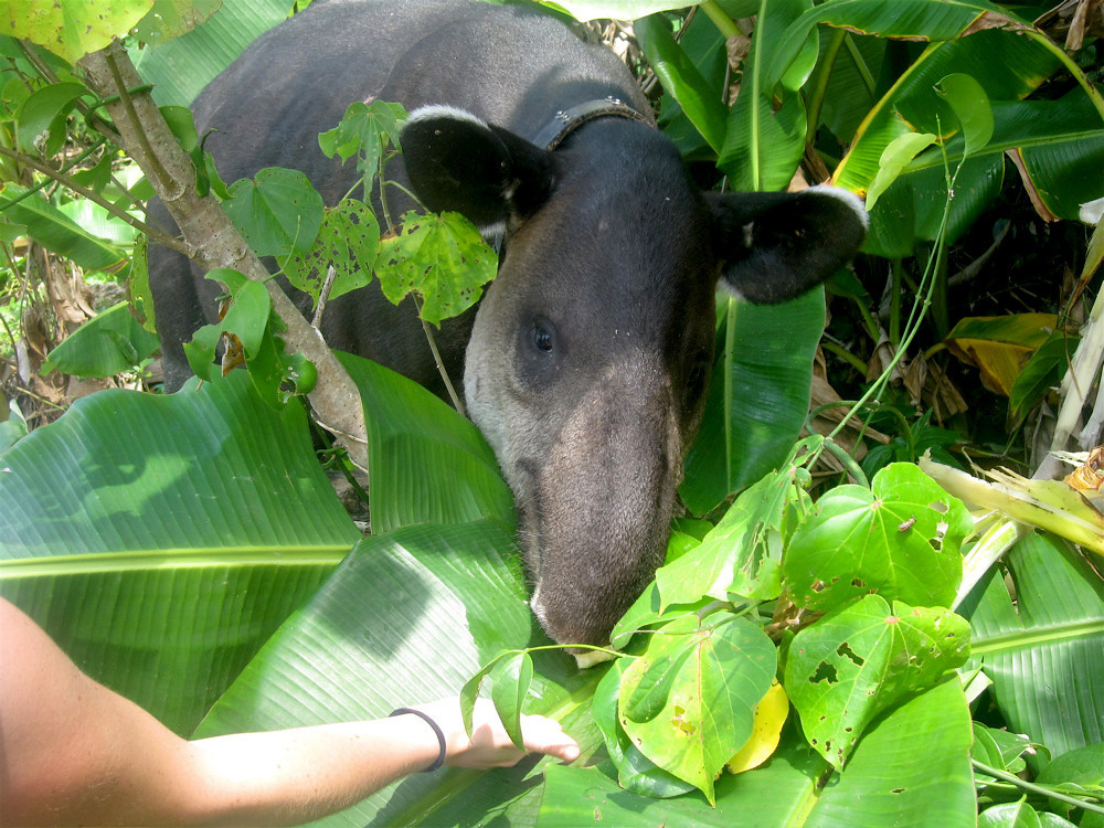 A student hand feeding an apple core to a tapir near the mouth of the Rio Sirena in Corcovado National Park.  This is not an entirely safe thing to do, but I wasn't present at the time and probably wouldn't have allowed her to do this.  Fortunately for all parties, he turned out to be a calm and docile animal and even enjoyed a second apple core to go with the first.  Note the radio collar; this fellow had had many previous encounters with humans.