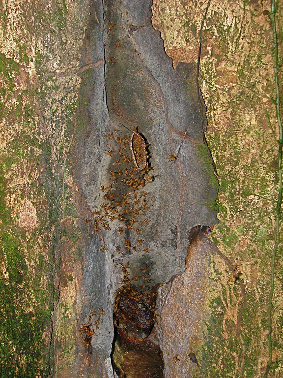 Entrance to a stingless bee nest in the base of a rainforest tree, Corcovado National Park, Osa Peninsula, Costa Rica.