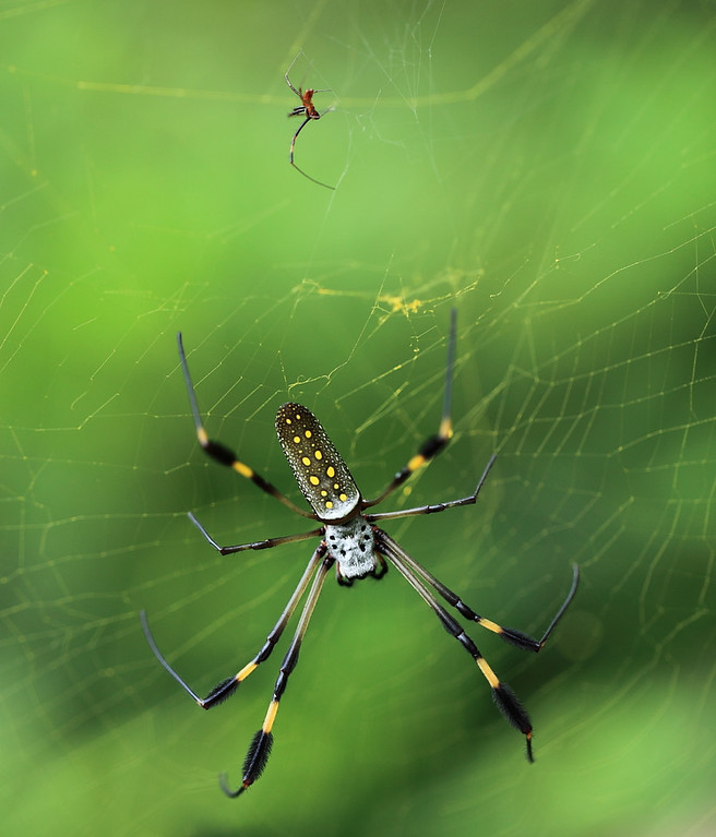 Golden orb weaver spider (Nephila clavipes) female being watched by the much smaller male, who is very very careful to make sure she's occupied with a prey item before he makes his advance.  Otherwise he'd be eaten.
