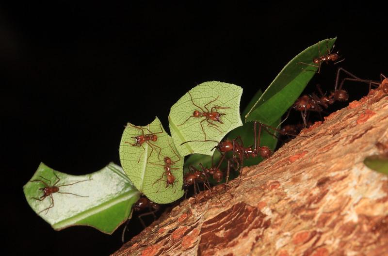 Leaf cutter ants, Campanario, Costa Rica