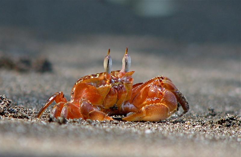 Ghost crab (Ocypode gaudichaudi) on the beach at Campanario, Osa Peninsula, Costa Rica