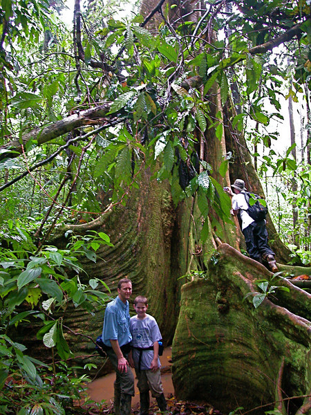 BIg butrress tree (Dussia macrophyllata) in the forest at Campanario, Osa Peninsula, Costa Rica
