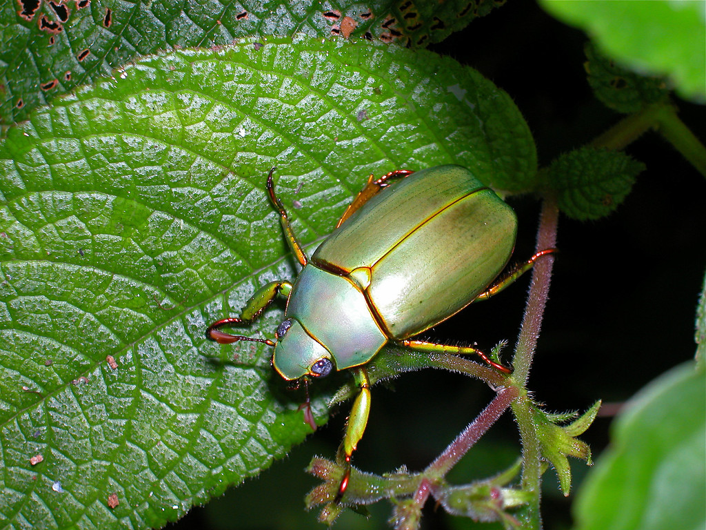 "Golden scarab beetle (Chrysina aurora, subfamily Rutelinae).  The genus is often called Plusiotis.  This beetle came to a black light at Alberto Manuel Brenes Biological Reserve, Costa Rica.<br /> <br /> See  <a href=""http://www.unl.edu/museum/research/entomology/Guide/Scarabs"">http://www.unl.edu/museum/research/entomology/Guide/Scarabs</a> Gallery/Chrysina Gallery/index.html for an nice photo catalog of this exquisite genus."