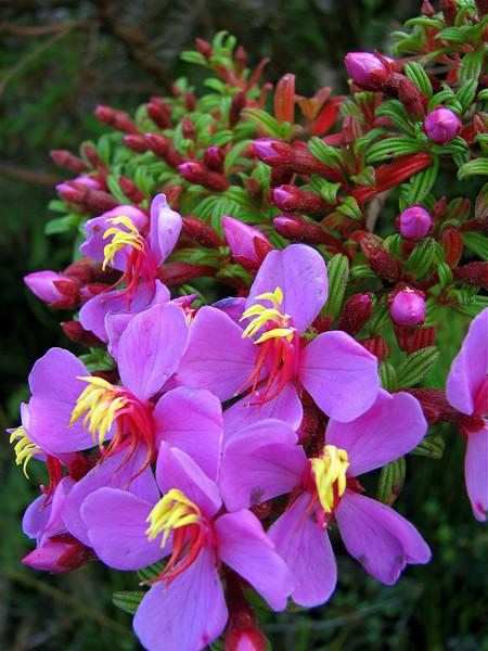 Flowering shrub, Cerro de la Muerte, Costa Rica