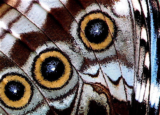 Closeup of ventral forewing spots on a blue morpho butterfly (Morpho peleides).  This was a live and undisturbed butterfly perched on vegetation along the road leading to Alberto Manuel Brenes Biological Reserve. Hooray for image stabilization!!